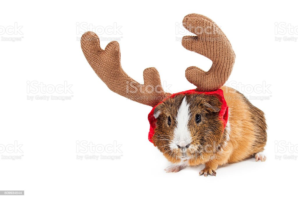 Christmas Reindeer Guinea Pig With Copyspace stock photo