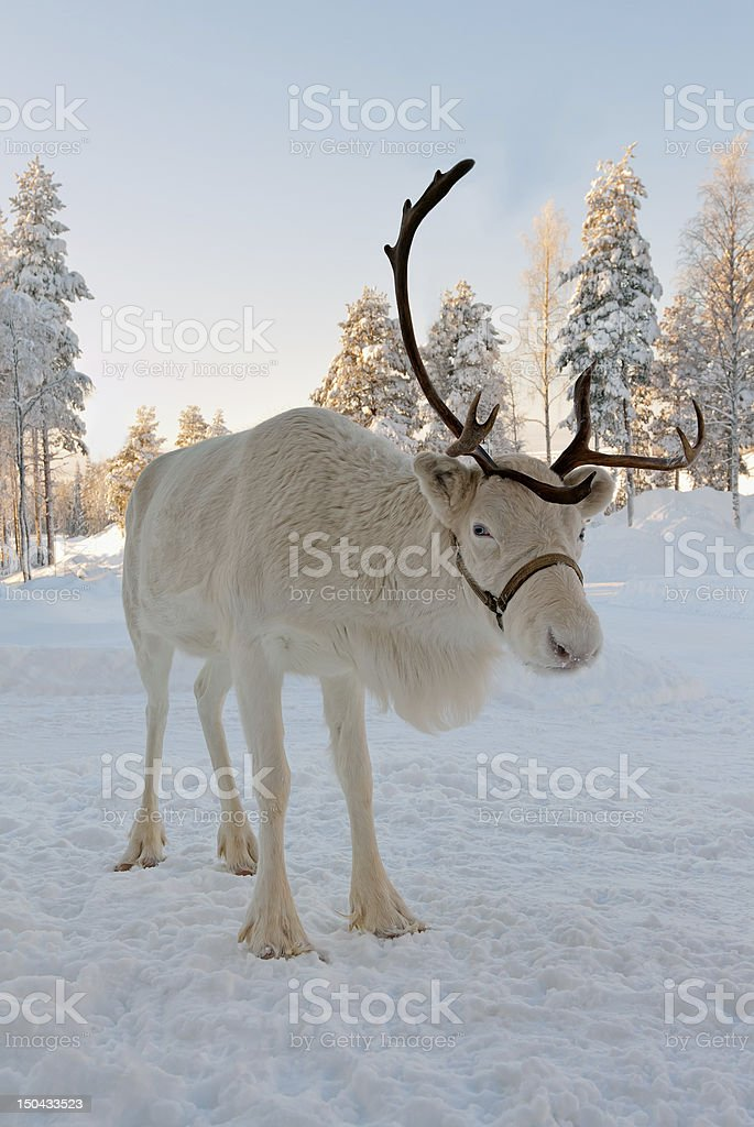 Christmas reindeer royalty-free stock photo