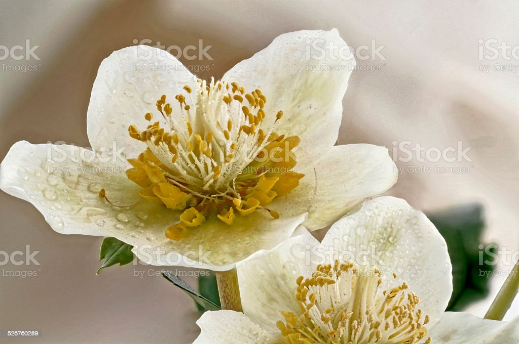 Christmas rose blooming stock photo