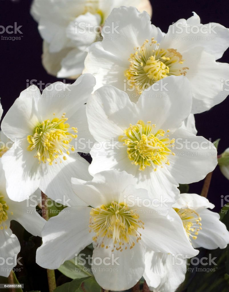 Christmas, Rose; Helleborus; niger stock photo