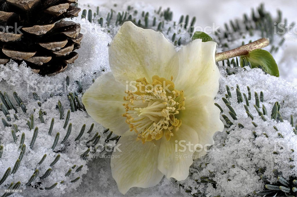 Christmas Rose in the snow stock photo