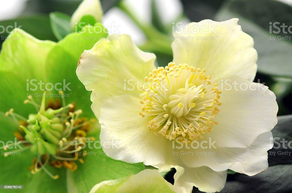 Christmas rose (black hellebore) on white background stock photo