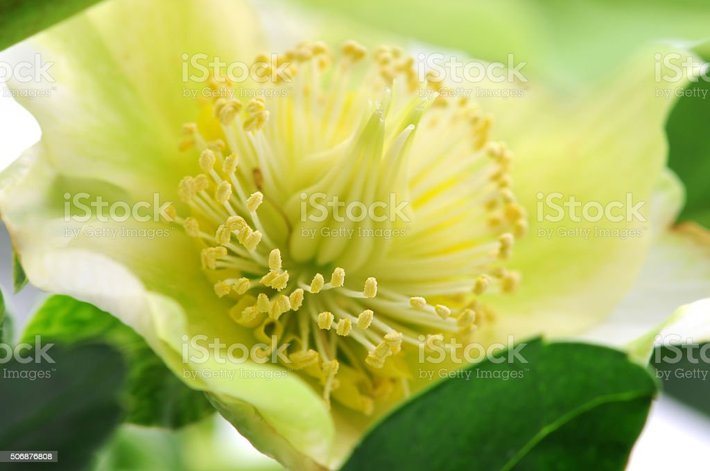 Christmas rose (black hellebore) on white background stock photo
