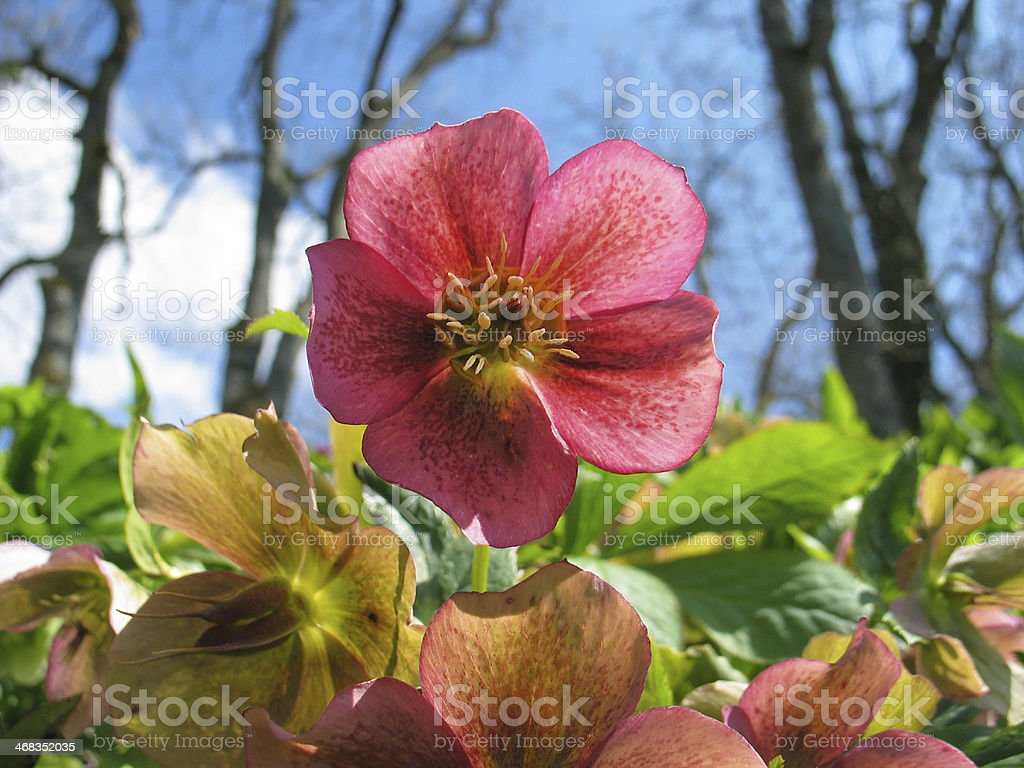 Christmas rose plant (Helleborus niger) stock photo