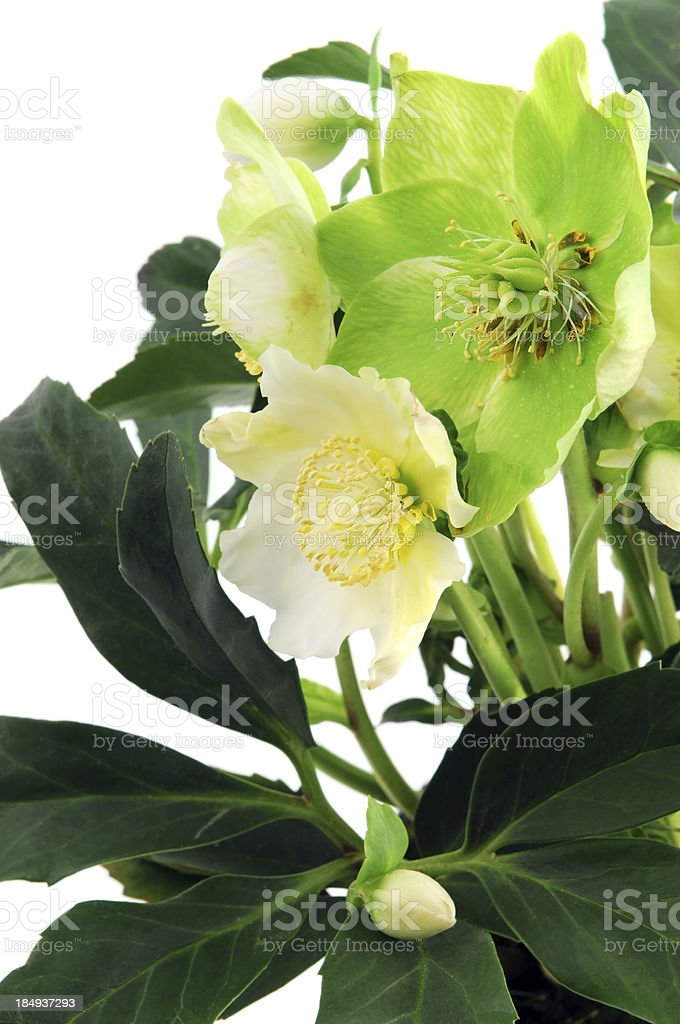 Christmas rose (Helleborus niger) with buds and flower heads stock photo