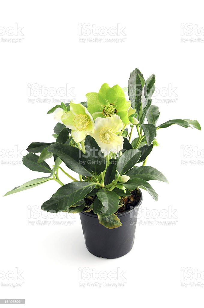 Christmas rose (Helleborus niger) with buds in flower pot stock photo