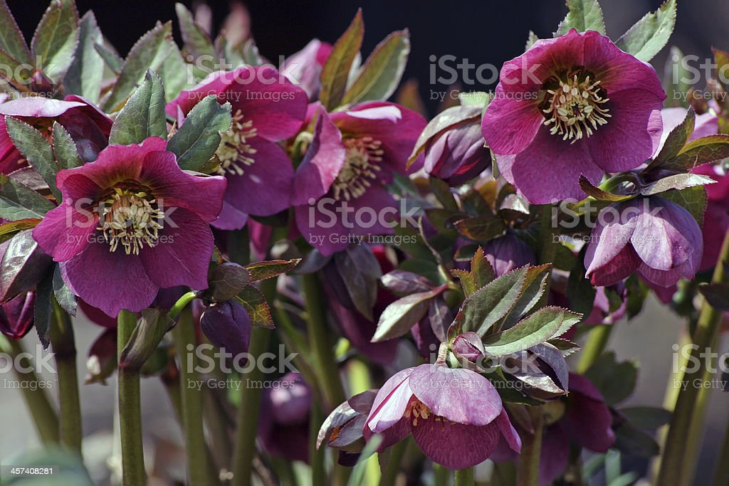 Christmas roses stock photo