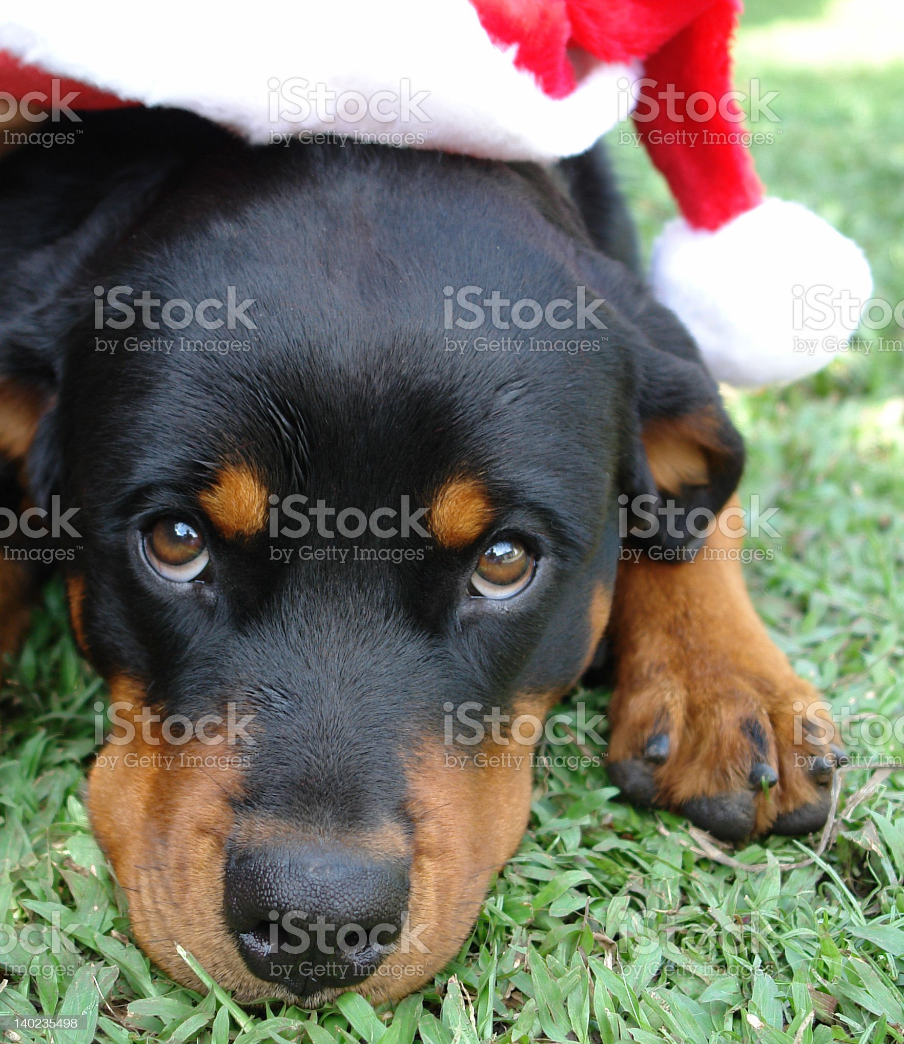 Christmas rottweiler royalty-free stock photo