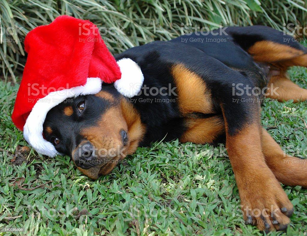 christmas rottweiler royalty-free stock photo