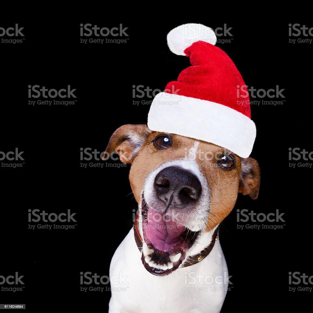 christmas santa claus dog isolated on black stock photo