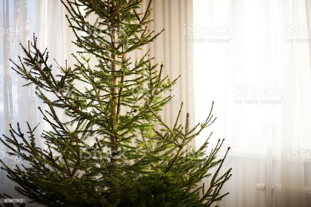 Christmas spruce tree at home without decorations stock photo