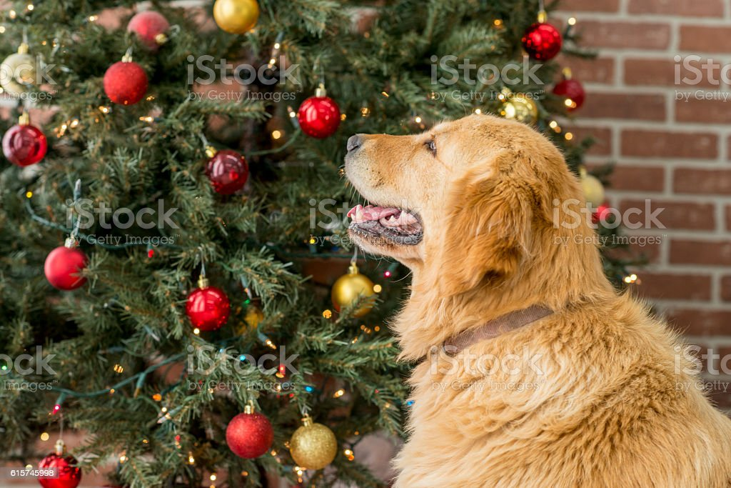 Christmas Tree and Golden Retriever stock photo