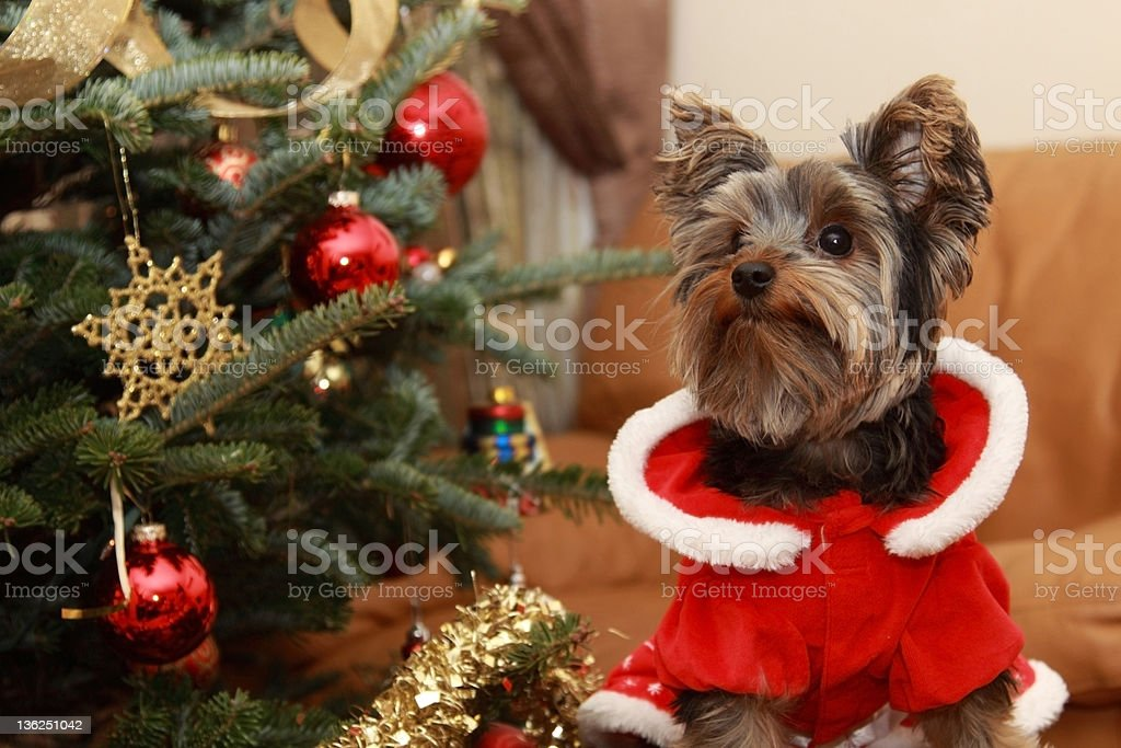 Christmas tree and Yorkie puppy royalty-free stock photo