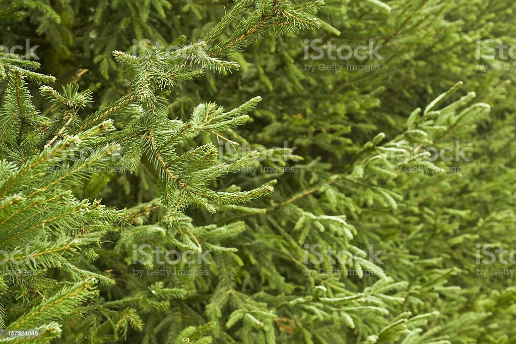 Christmas Tree Background royalty-free stock photo