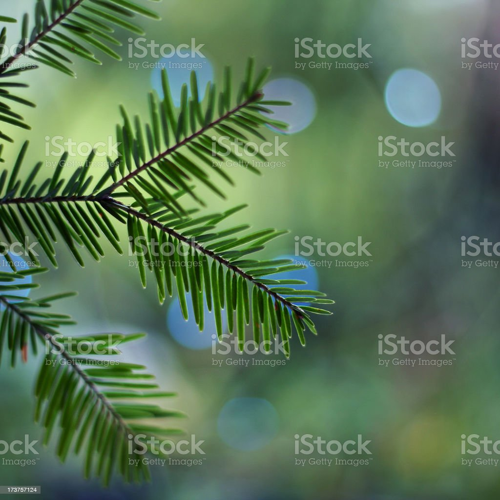 Christmas Tree Branch royalty-free stock photo