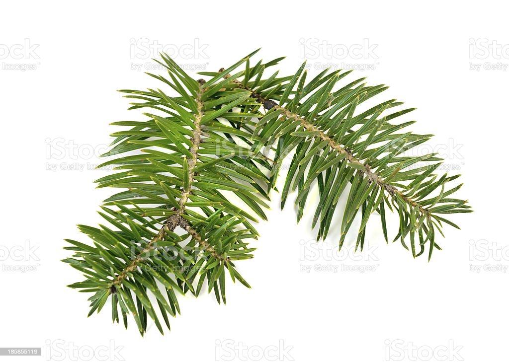 Christmas tree branch royalty-free stock photo