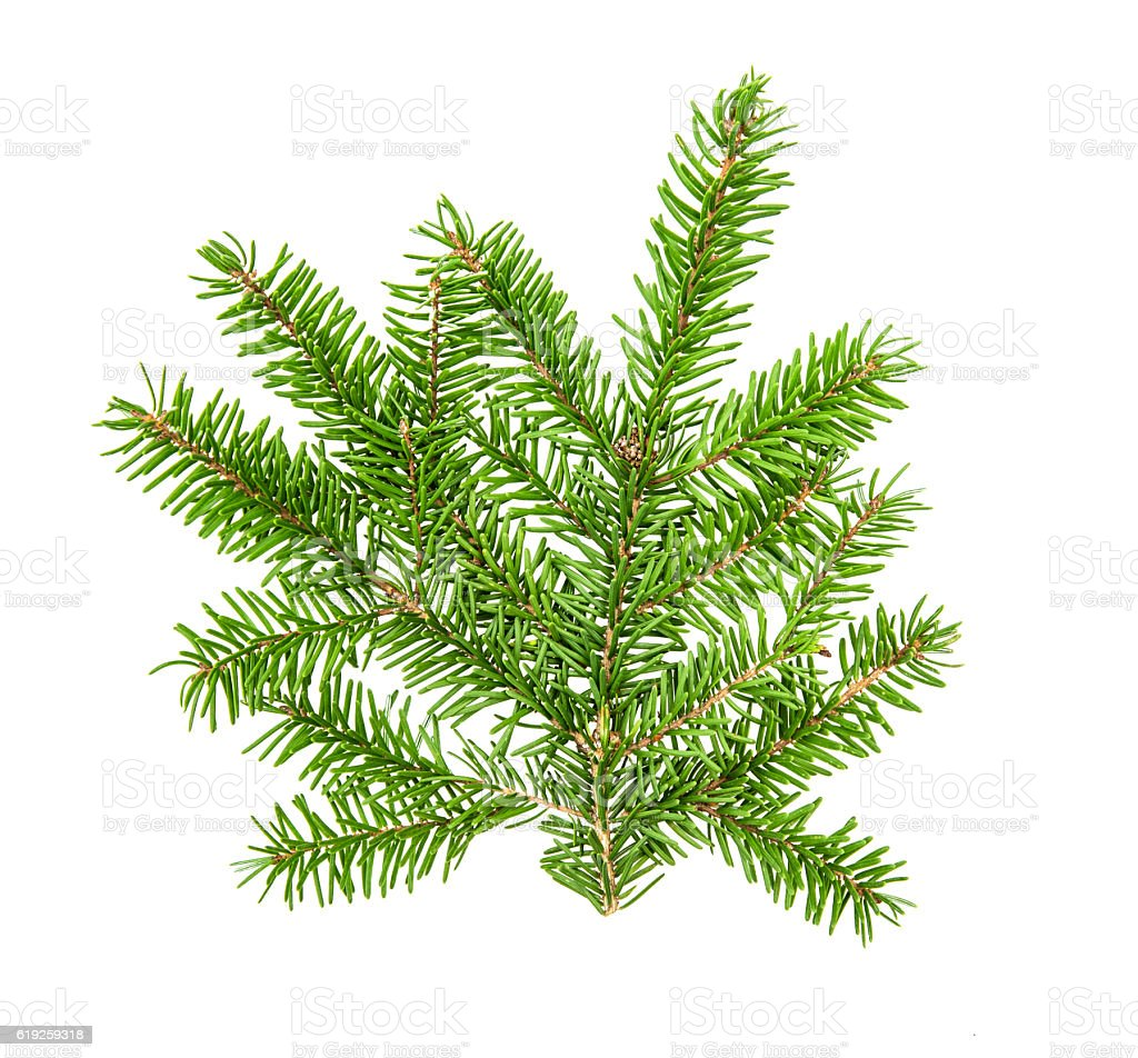 Christmas tree branches isolated on white background stock photo