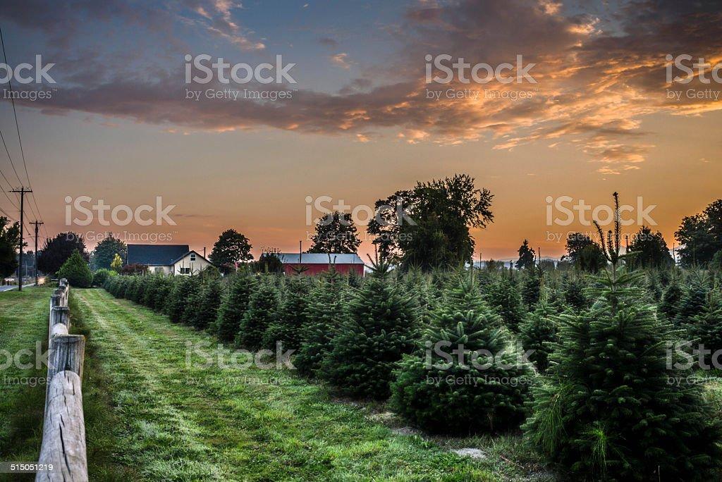 Christmas tree farm in morning sunrise stock photo