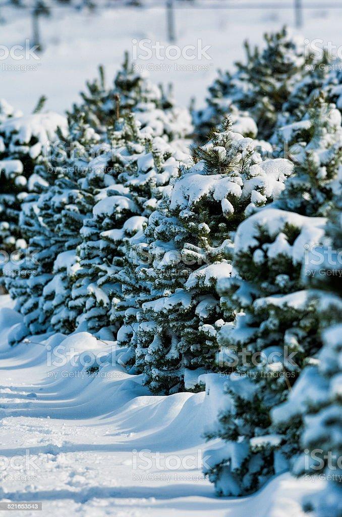 Christmas Tree Farm in the snow stock photo