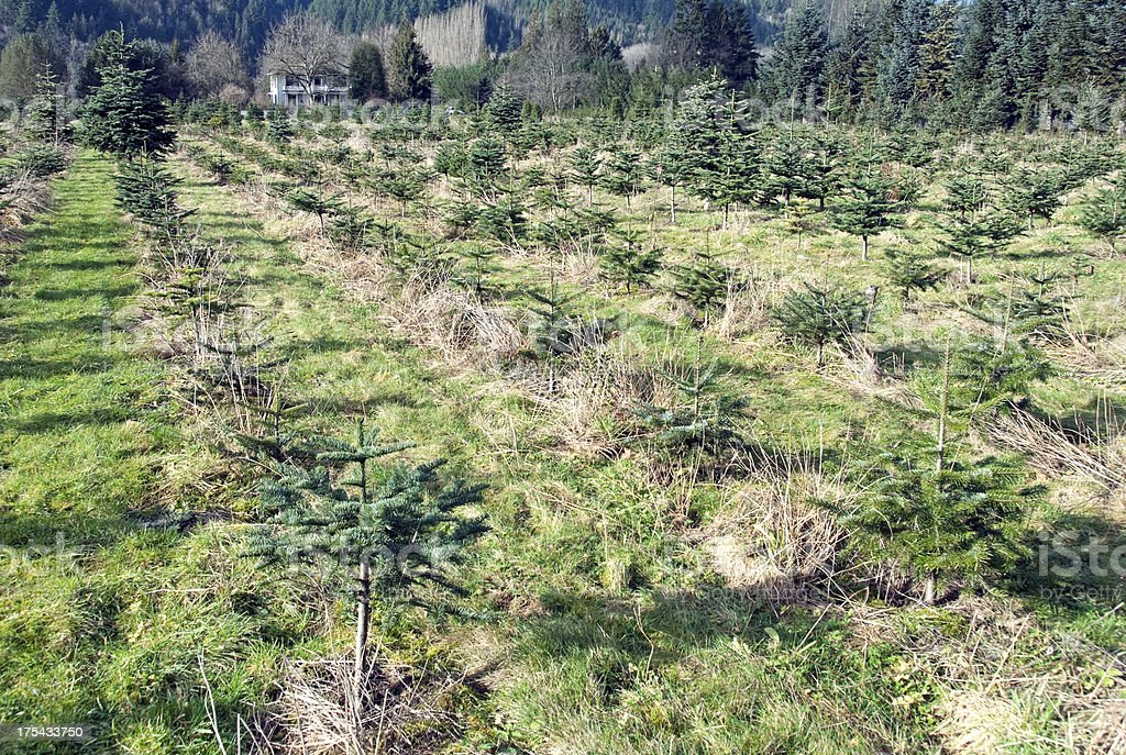 Christmas tree farm in Washington state stock photo