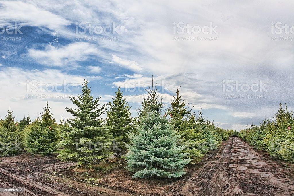 Christmas tree farm, Montana stock photo