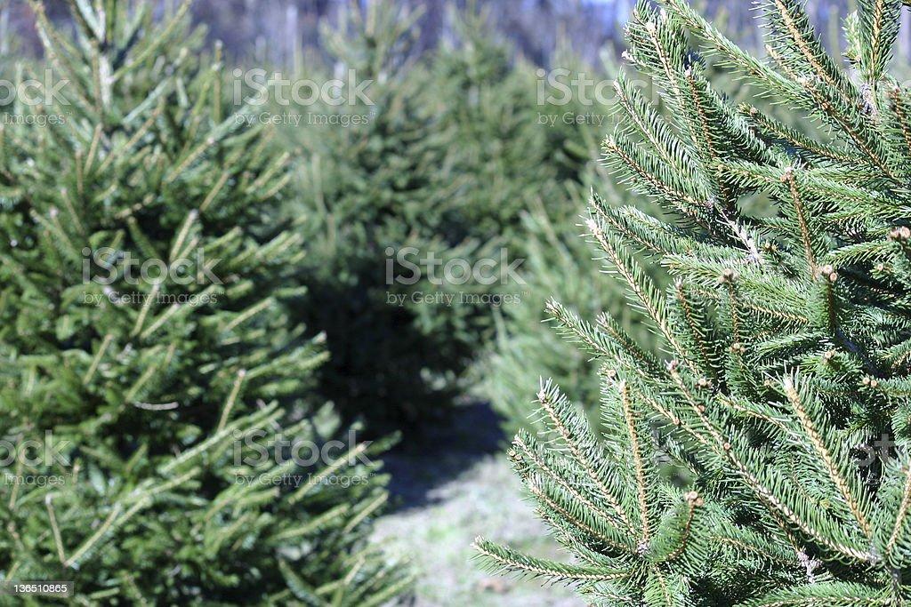 Christmas Tree Farm royalty-free stock photo