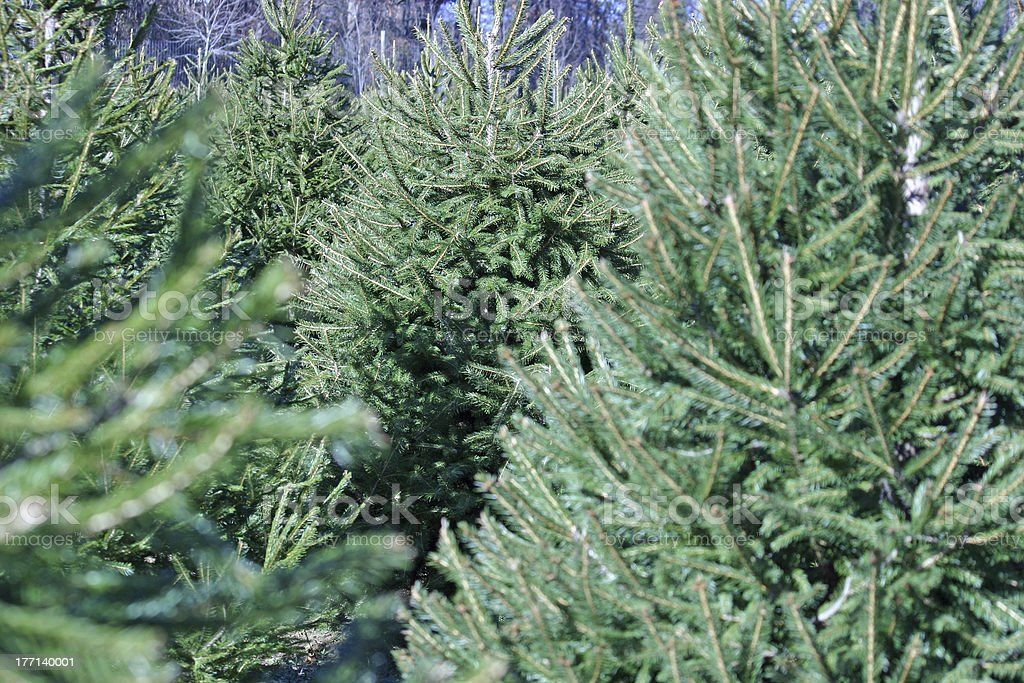 Christmas Tree Farm royalty-free stock photo