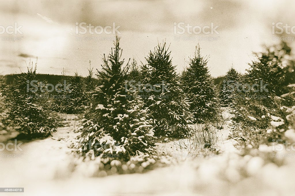 Christmas tree farm - sepia-toned royalty-free stock photo