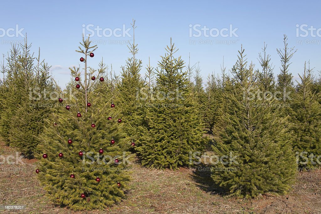 Christmas Tree in Field royalty-free stock photo