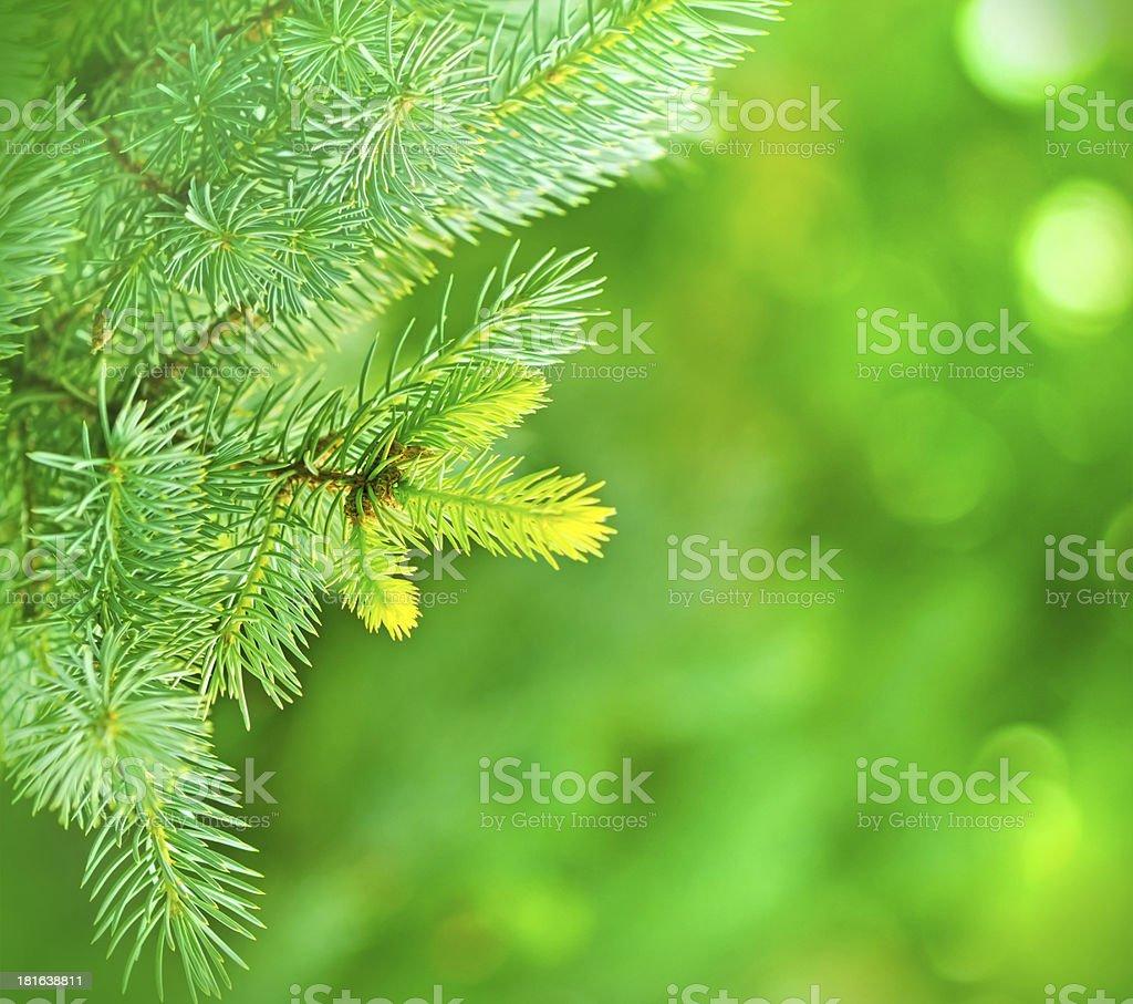 Christmas tree - pine trees royalty-free stock photo