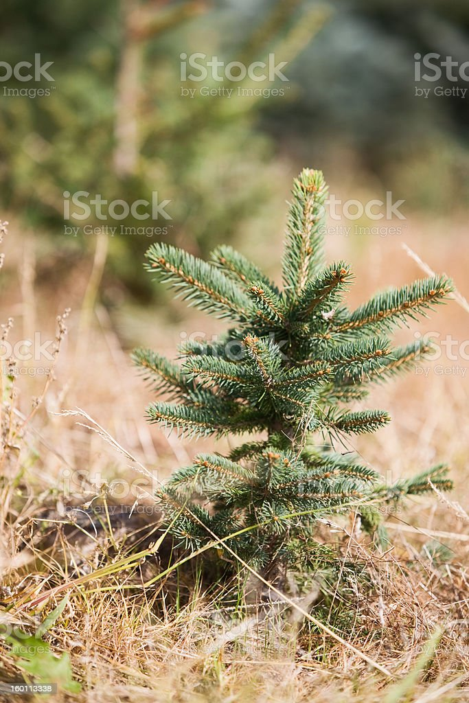 Christmas tree Sapling royalty-free stock photo