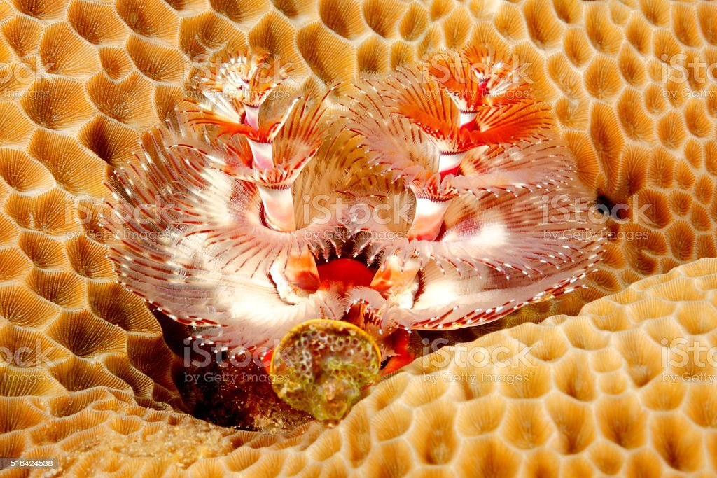 Christmas Tree Tube Worm in Coral stock photo