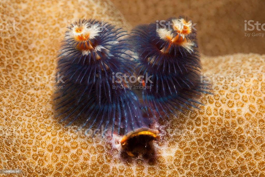 Christmas Tree Tube Worm Spirobranchus giganteus, Komodo National Park, Indonesia stock photo