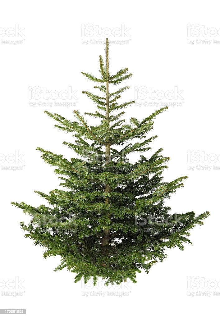Christmas tree without ornaments royalty-free stock photo