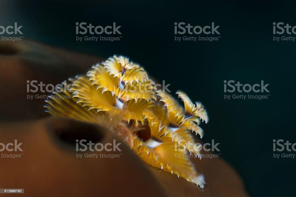 Christmas tree worm in Bahamas stock photo