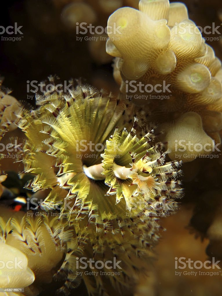 Christmas Tree Worm (Spirobranchus giganteus) stock photo