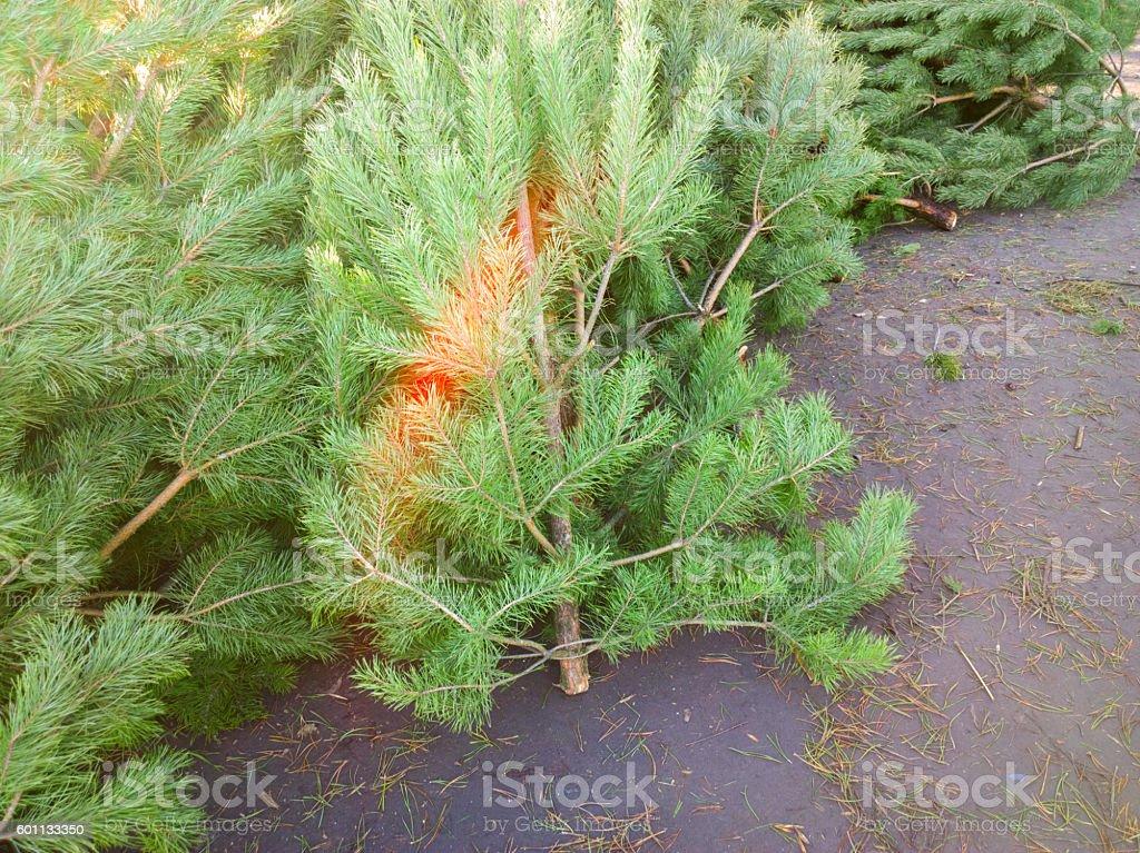 Christmas trees at the market. stock photo