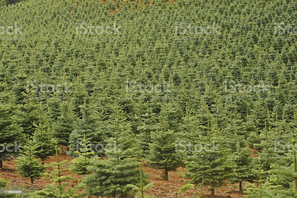 Christmas Trees growing on farm in Oregon royalty-free stock photo