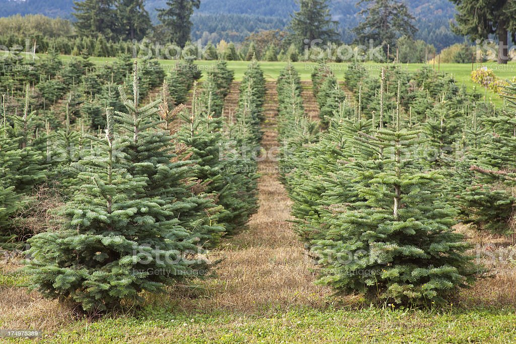 Christmas Trees in a Row royalty-free stock photo