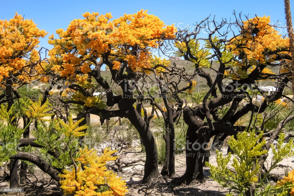 Christmas trees in bloom, Cape le Grand National Park stock photo