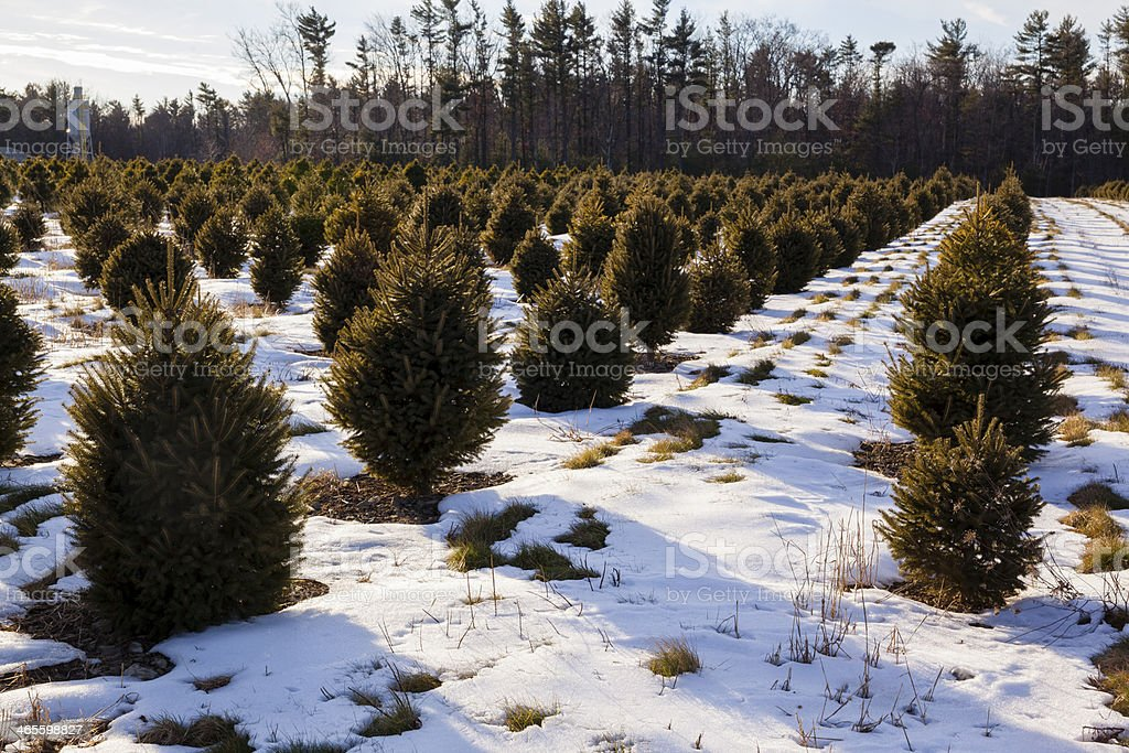 Christmas Tree's Plantation in Winter Poconos royalty-free stock photo