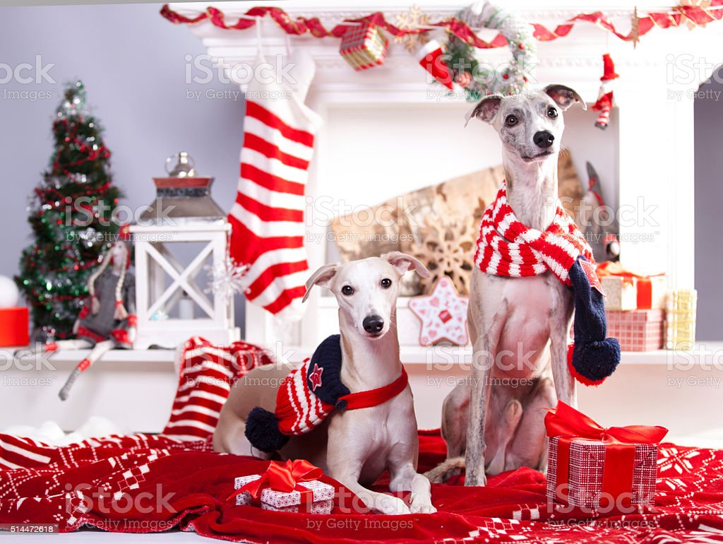 christmas whippet stock photo
