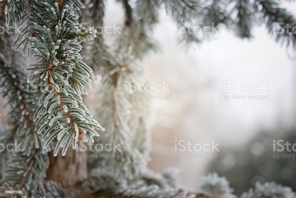 Christmas, winter background with frosty pine tree stock photo