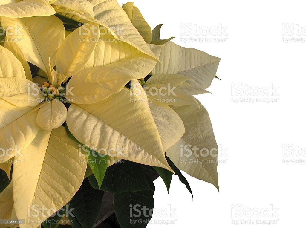 Christmas Yellow Poinsettia on White Background stock photo