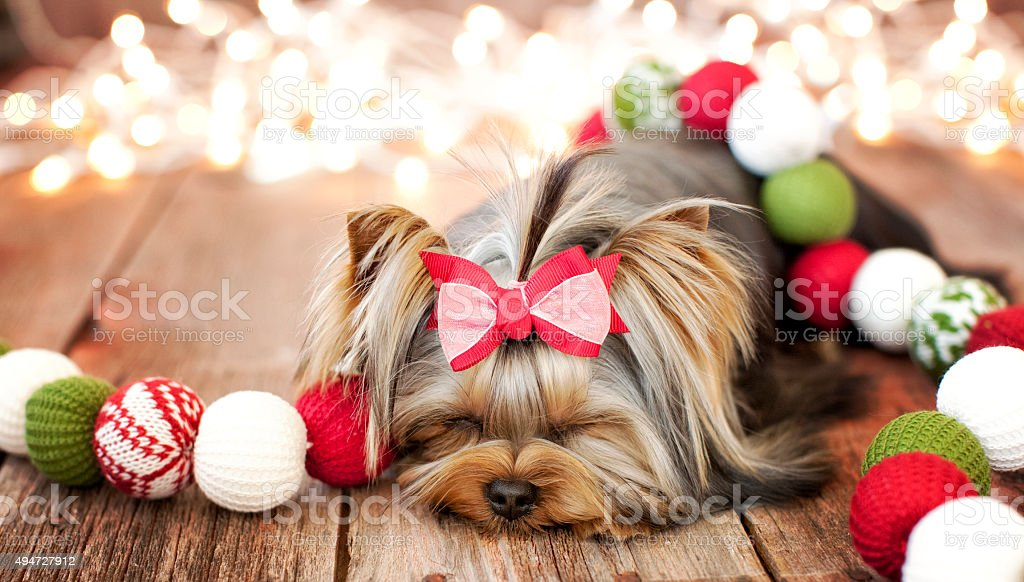 Christmas Yorkshire Terrier Puppy Against Rustic Wood Background stock photo