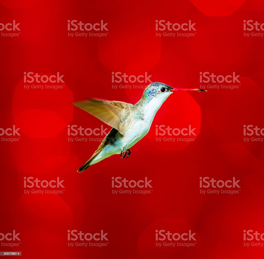 Christmassy Violet Crowned Hummingbird. stock photo