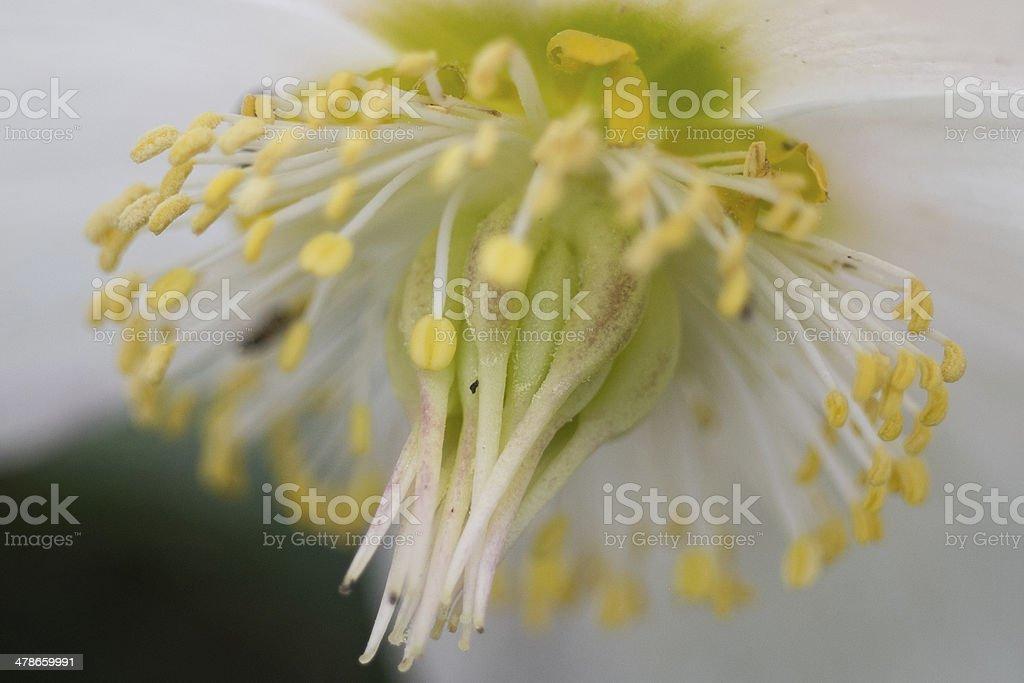 Christrose, Helleborus niger stock photo
