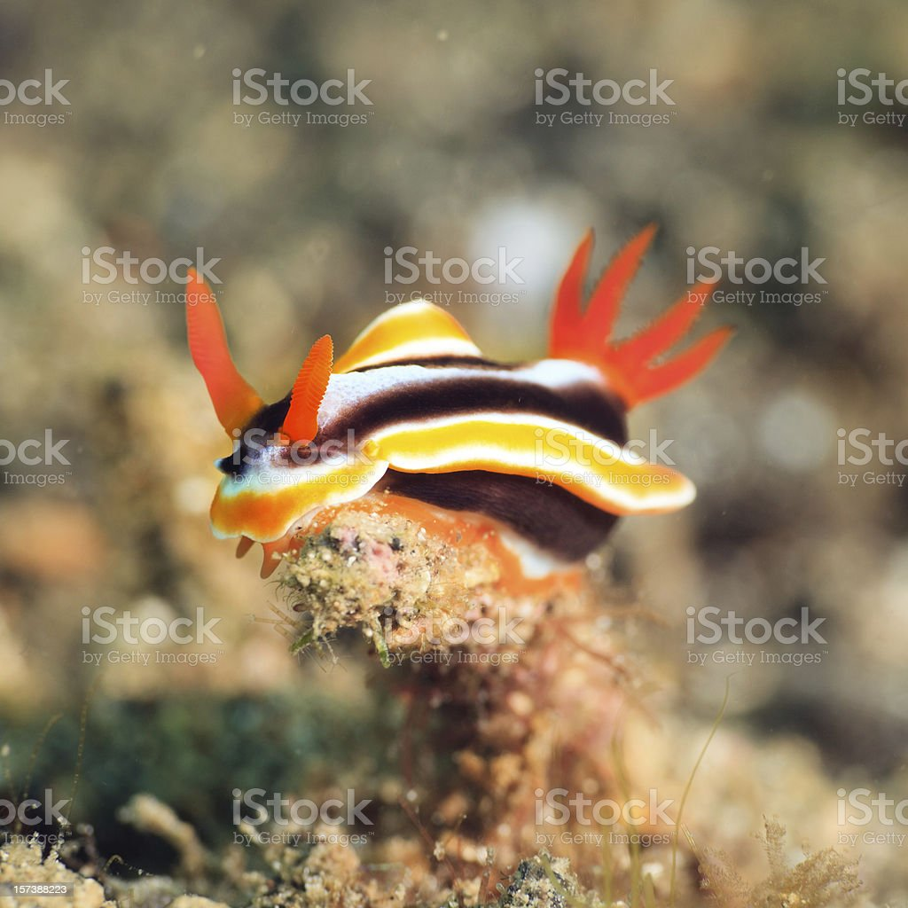 Chromodoris magnifica nudibranch royalty-free stock photo