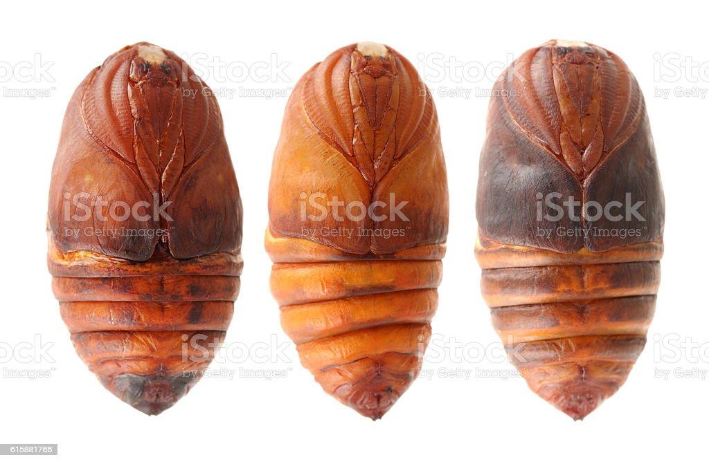 chrysalis silkworm ,silk worm cocoon stock photo