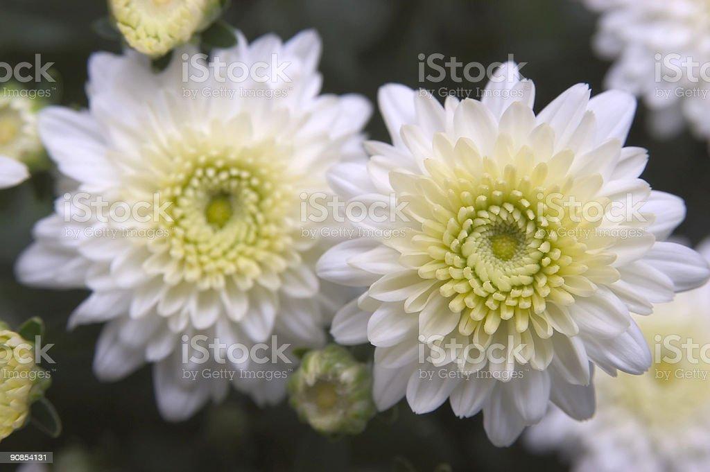 chrysanthemum 1 stock photo